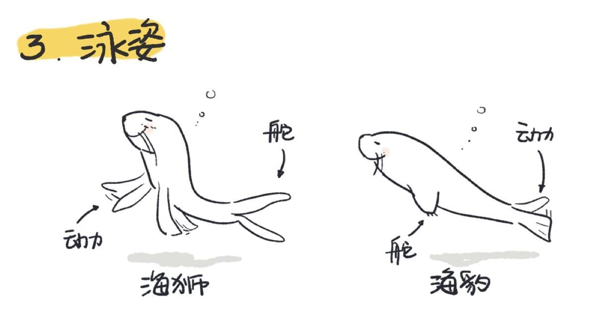 游动时海狮用前肢做动力后肢做舵;海豹则相反